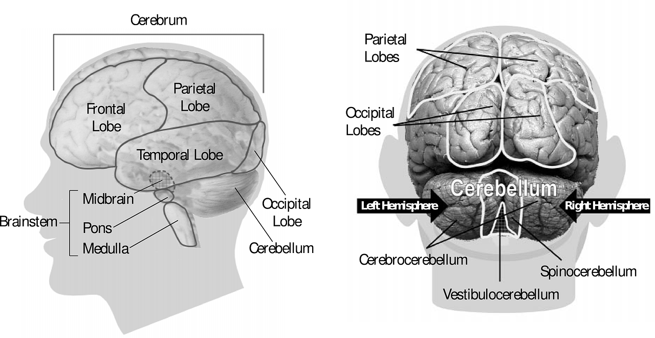 Take care of the lobes of the brain